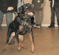 Rottweiler training/police Dog Harness