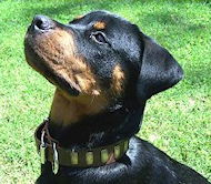 Gorgeous Wide Leather Collar with plates for Rottweiler