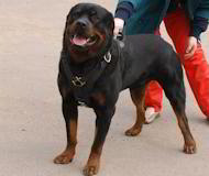 New Anti-pulling Handcrafted Leather Leash for Rottweiler