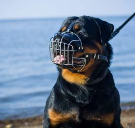 How to measure your Rottweiler for good fit muzzle